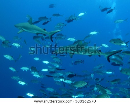 Shark and tropical fish / Scuba diving in Palau