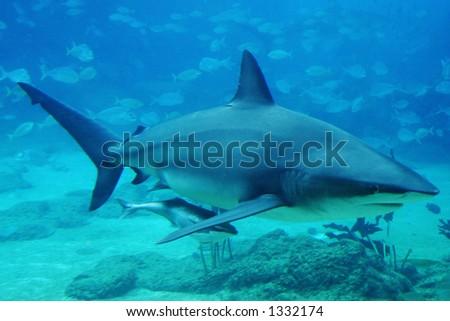 Shark at Sharkbay, Seaworld - Australia - stock photo