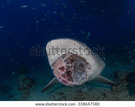 Shark feeding - stock photo