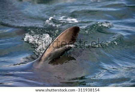 Shark fin above water. Great white shark - stock photo