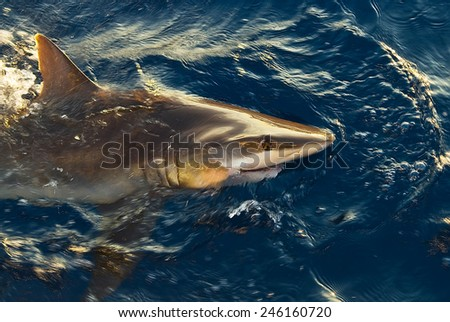 Shark in the high sea - stock photo