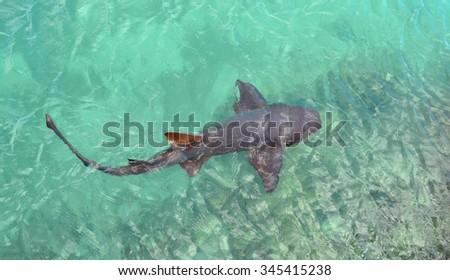 Shark  in the ocean. Jamaica - stock photo