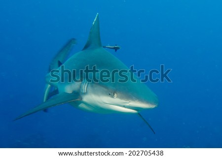 Shark jaws ready to attack underwater close up portrait