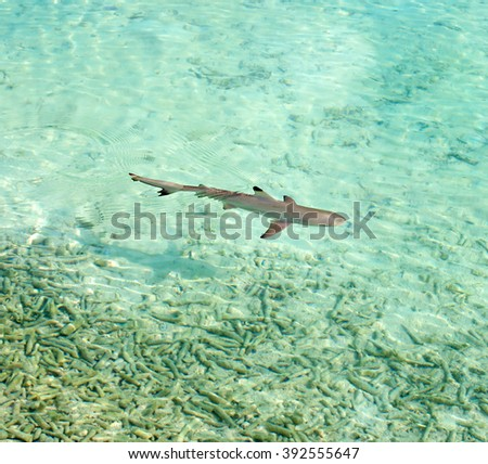Shark on the water of Maldive Island