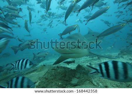 Shark playing peekaboo in Fiji - stock photo