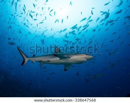 Shark Silhouette  - stock photo