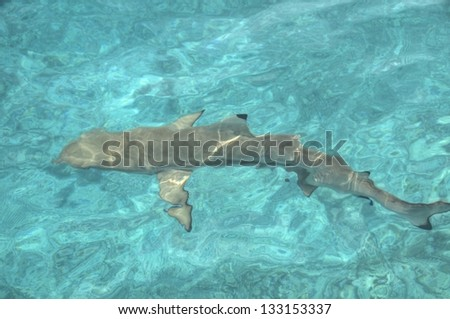 Shark swimming in Indian ocean, Maldive Islands