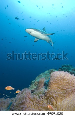 Shark swims over colorful tropical reef
