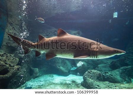 Shark underwater in natural aquarium - stock photo