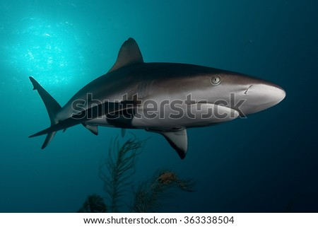 shark, underwater picture, South Africa