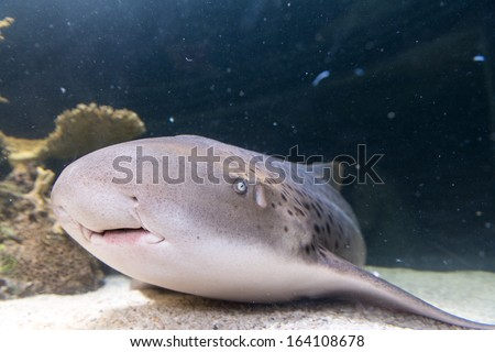 Sharks are a group of fish characterized by a cartilaginous skeleton, five to seven gill slits on the sides of the head, and pectoral fins that are not fused to the head. - stock photo