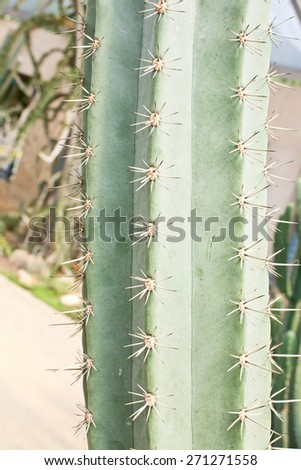 Sharp needles of a Cactus trunk in Garden