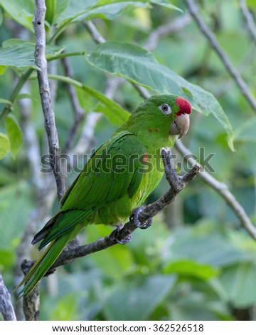 Sharp photo of a Finsch's parakeet (Psittacara finschi), also known as Crimson-fronted parakeet or Finsch's conure - a small green Neotropical parrot. Photo taken in western Panama.