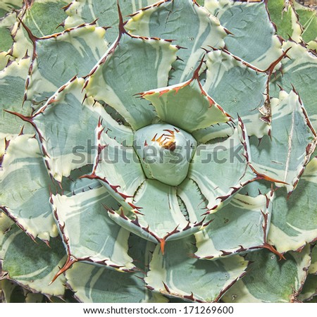 Sharp pointed agave plant leaves - stock photo