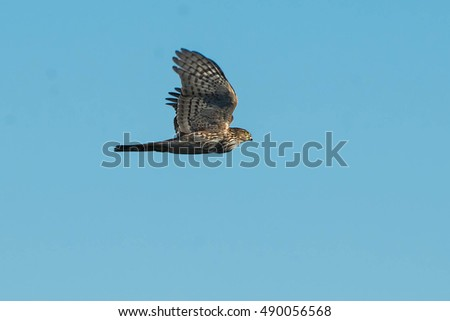 Sharp-shinned Hawk with a full crop flying across a hazy sky.