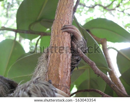 Sharp toes from the Brown-throated three-toed sloth (Bradypus variegatus) Amazon rainforest, Brazil  - stock photo