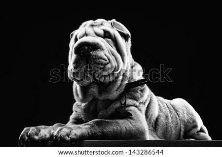 Sharpei dog - stock photo