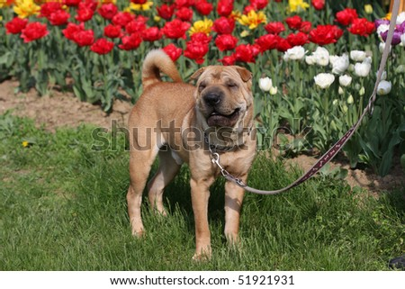 sharpei dog standing outdoor with tulips - stock photo