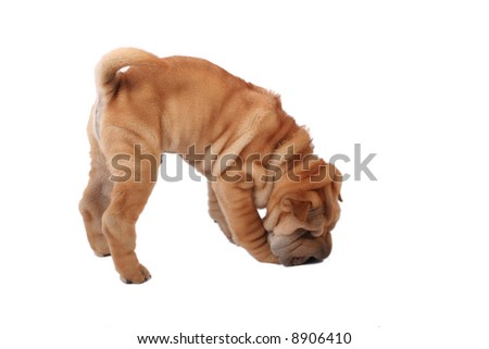 Sharpei puppy in front of a white background