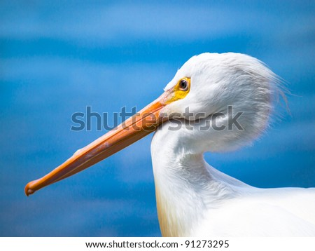 Sharply focused pelican with beak tucked against neck