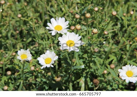 Shasta daisy stock images royalty free images vectors for Easy maintenance perennials