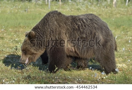 She-bear and bear-cubs. Adult female of Brown Bear (Ursus arctos) with cubs on the swamp  in summer forest.