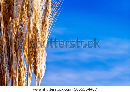 Sheaf Of Barley On The Blue Sky