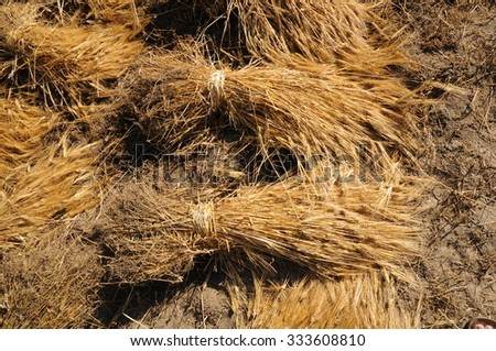 Sheaf of Corn, cereal plant, natural outdoor image - stock photo