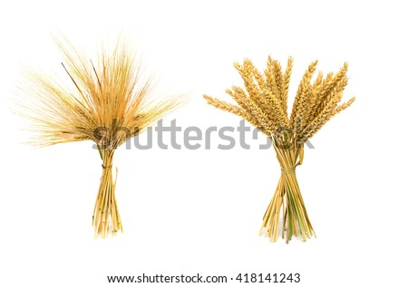 Sheaf of ears of barley and sheaf of ears wheat on white background