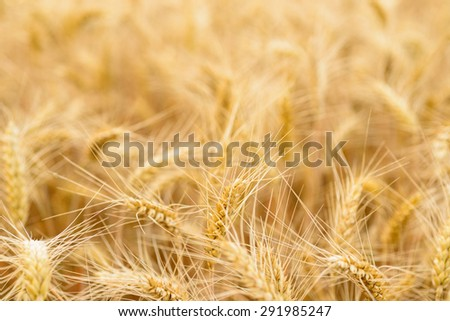 Sheaf of wheat, selective focus