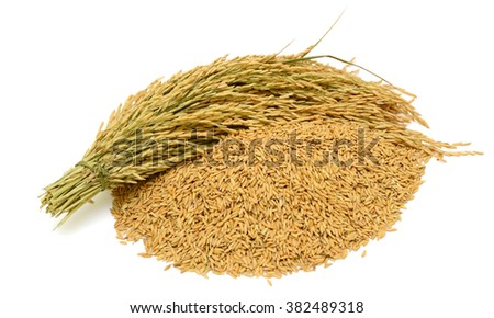 sheaf yellow rice isolated on white background