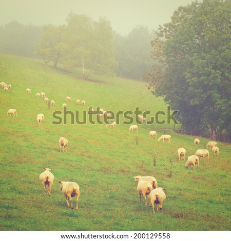 Sheared Sheep Grazing in the Alpine Meadows of France, Instagram Effect - stock photo