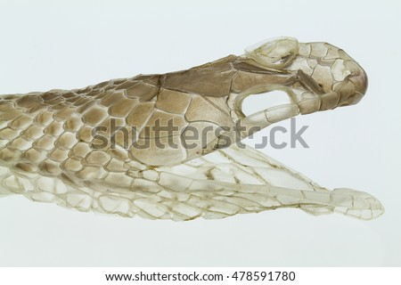 Shedding snake skin, head shot, on white background