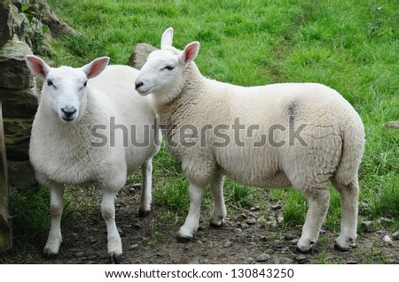 sheep - stock photo