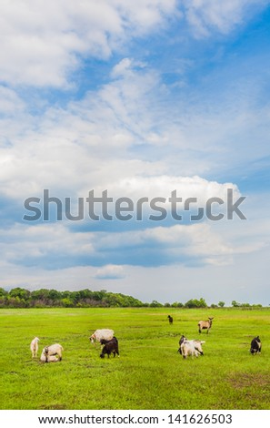 sheep and goats grazed on a spring meadow