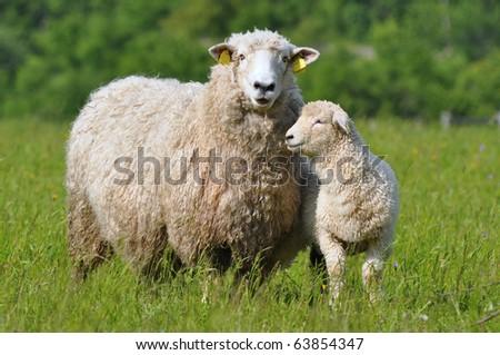 sheep and its lamb - stock photo