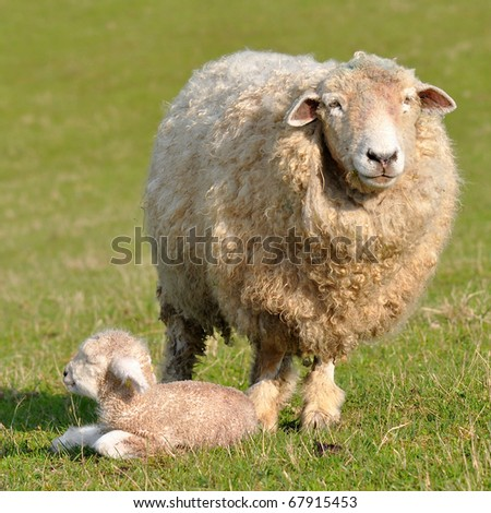 sheep and its  one day old lamb - stock photo