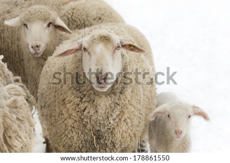 Sheep and lamb looking at camera, isolated on white - stock photo