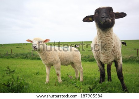 sheep and lamb on a meadow - stock photo