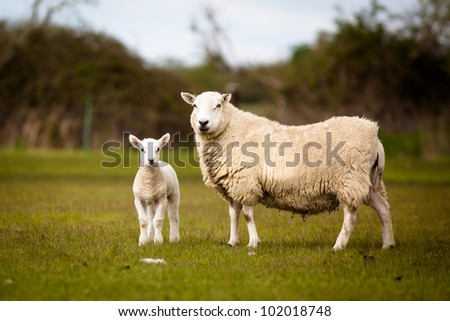 Sheep and Lamb standing in a field. - stock photo
