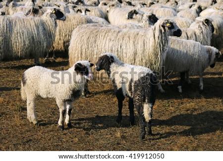 Sheep and lambs - stock photo