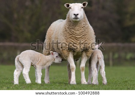Sheep and lambs grazing in rural field - stock photo