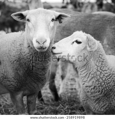 Sheep and lambs in a paddock in Australia in black and white - stock photo