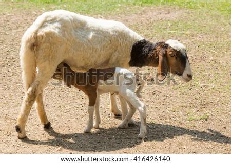 Sheep and little lamb  - stock photo