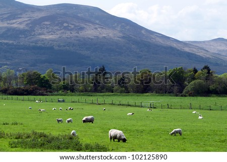 Sheep and rams in Killarney mountains - Ireland - stock photo