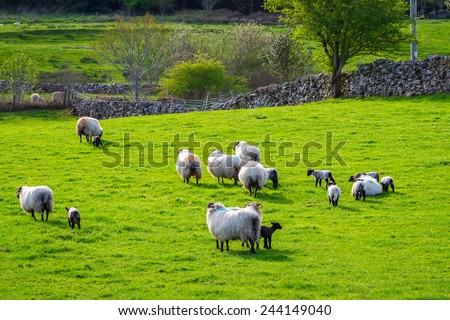 Sheep and rams in Killarney mountains, Ireland - stock photo