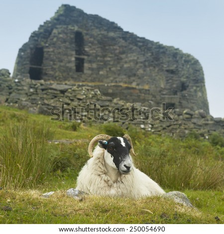 Sheep and scottish antique stone construction, broch. Carloway. Lewis isle. Scotland - stock photo