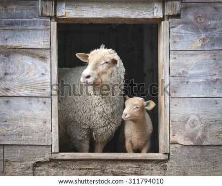 Sheep and Small Ewe in Wooden Barn Window - stock photo