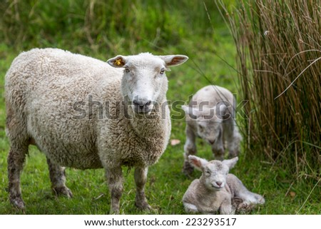 Sheep and two new lambs