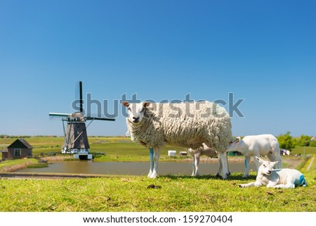 Sheep and windmill and wild flowers at Dutch wadden island Texel - stock photo